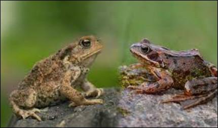 La grenouille et le crapaud ! Où est le crapaud ?