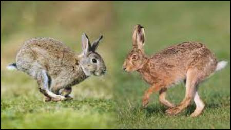 Le lièvre et le lapin ! Où est le lapin ?
