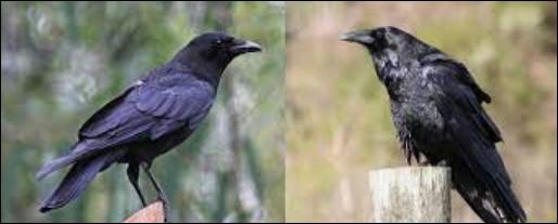 Le grand corbeau et la corneille d'Amérique !Où est le corbeau ?