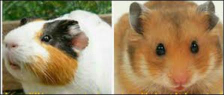 Le cochon d'Inde et le hamster !Où est le cochon d'Inde ?