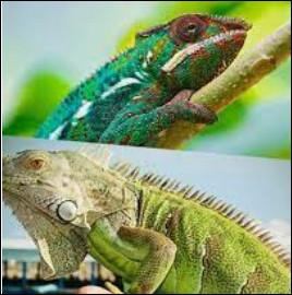 Le caméléon et l'iguane !Où est l'iguane ?