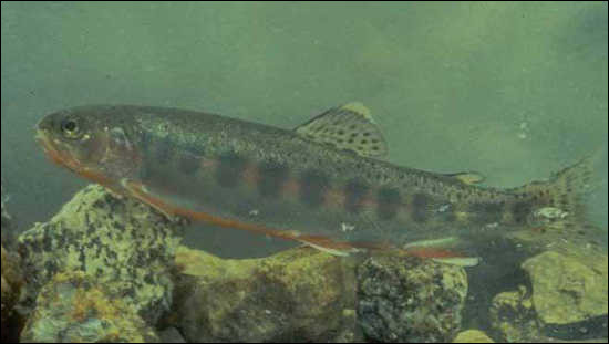 Jeune saumon de moins de trois ans :