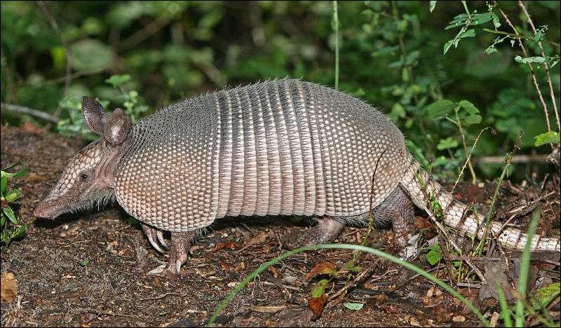 Mammifère édenté d'Amérique du Sud, au corps recouvert d'une carapace (en photo) :
