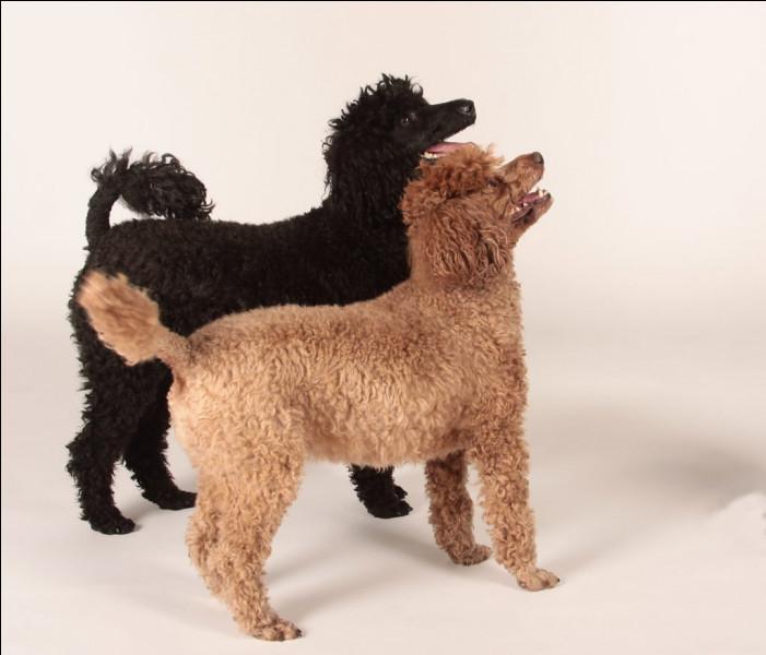 Le retour des animaux ~ Les races de chiens en C, D et E !