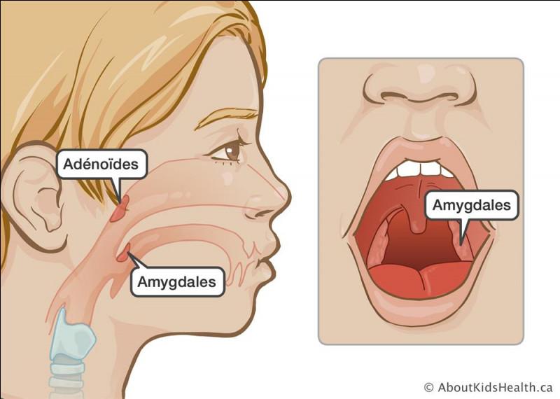 """Quel terme est à l'origine du mot """"amygdale"""" ?"""