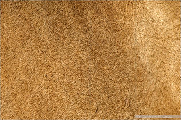 Et quel grand félin possède ce pelage uni, comme le puma ou le caracal ?
