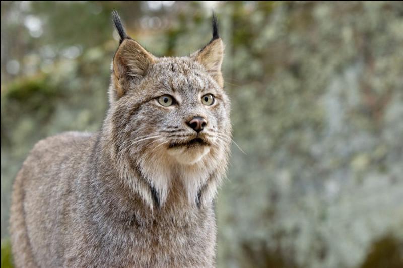 Saurez-vous reconnaître le lynx grâce à la couleur de sa fourrure ?