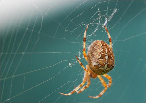 Laquelle de ces araignées tisse une toile ?
