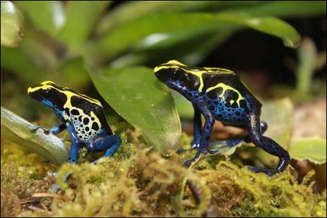 Comment s'appellent ces petites grenouilles colorées ?