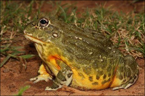 Très vorace, la grenouille taureau d'afrique australe peut manger...