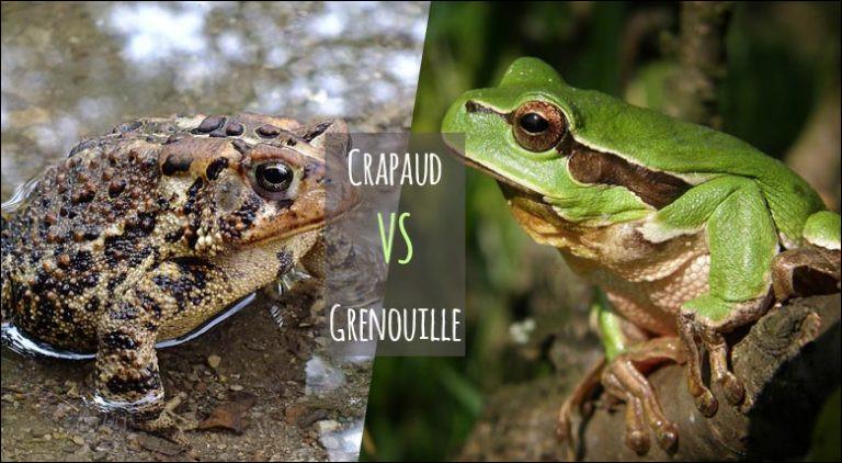 Qu'est-ce qui différencie le crapaud de la grenouille ?