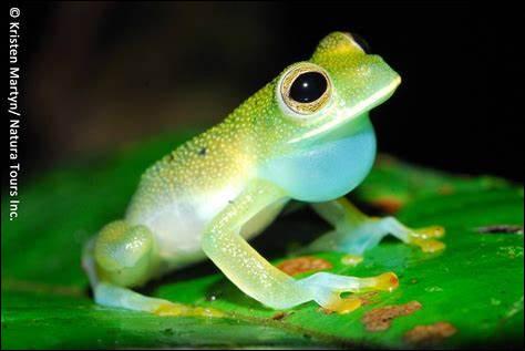 Quelle est la particularité de la grenouille de verre ?