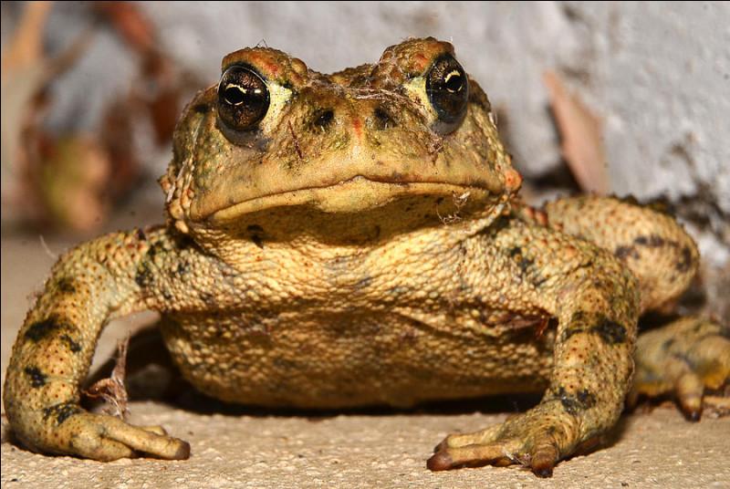 Quel est le plus gros amphibien ?