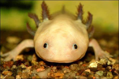 Quelle est la particularité de l'axolotl ?
