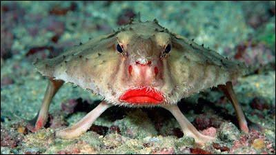 Où peut-on trouver le poisson chauve-souris ?