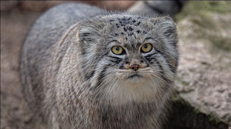 On l'appelle aussi chat de Pallas. Il vit dans les steppes arides et froides d'Asie centrale.