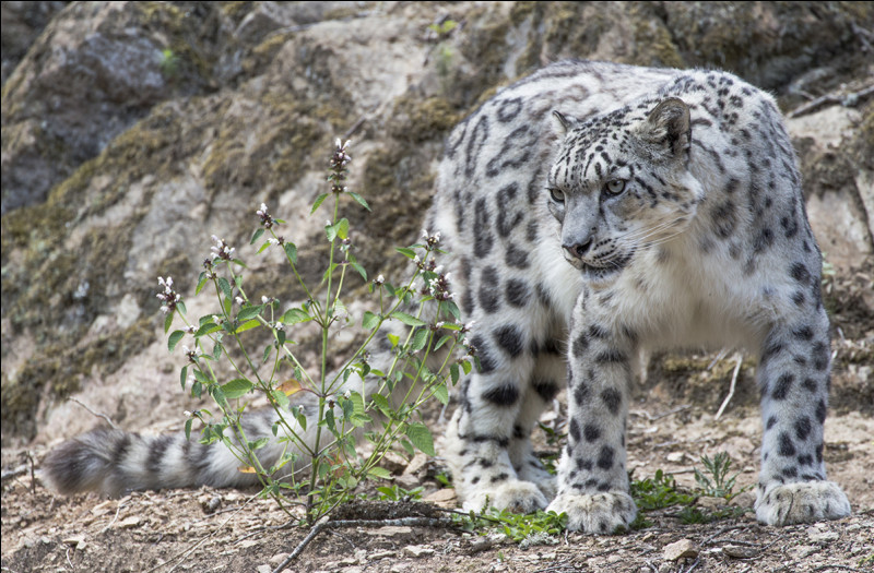 On l'appelle aussi irbis ou panthère. Elle vit en Asie, au Tibet.