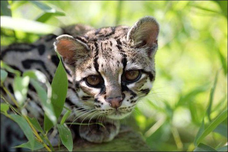 On l'appelle aussi chat-tigre ou chat sauvage de la Nouvelle Espagne. Il vit en Amérique.