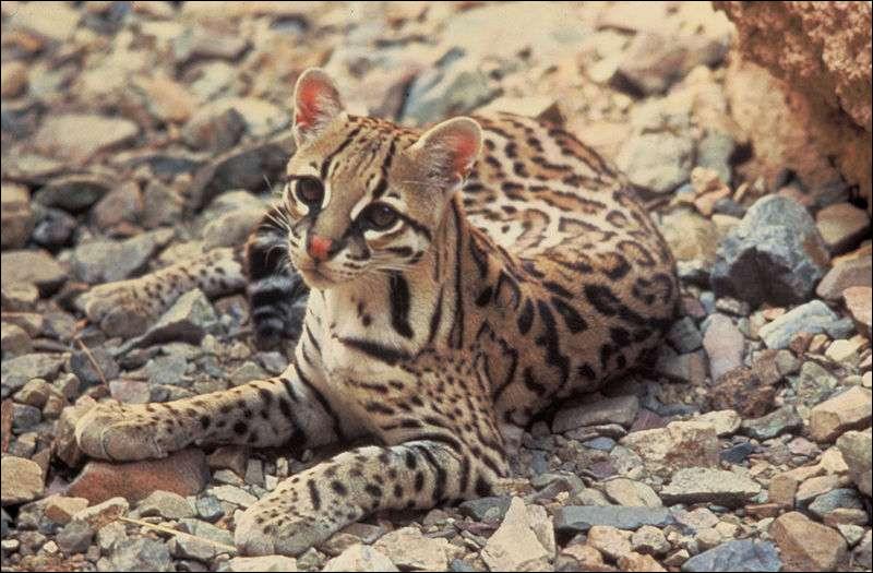 Il chasse la nuit au sol et parfois dans les arbres. Il est appelé Cunaguaro au Venezuela et Jaguatirica au Brésil.
