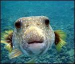 Pourquoi le poisson ouvre-t-il sans cesse la bouche ?
