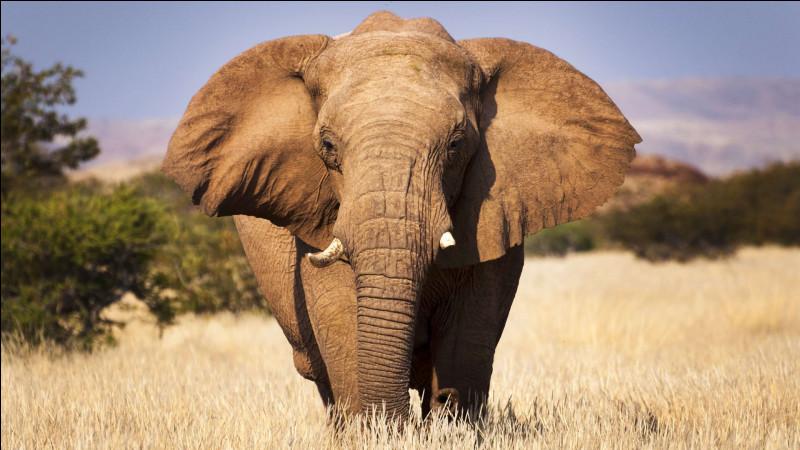 Connaissez-vous la différence entre un éléphant d'Asie et d'Afrique ? Il va falloir le savoir pour répondre à cette question.