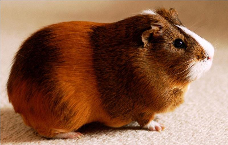 Et là, dites-moi, est-ce un hamster ou un cochon d'Inde ?