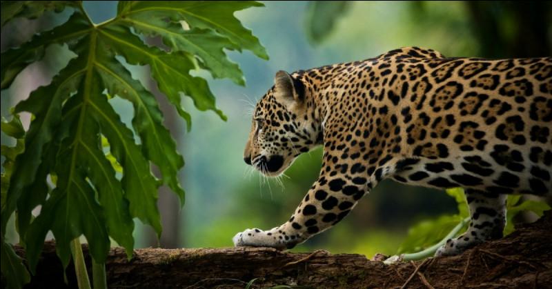 Voyez-vous un jaguar, un léopard ou un guépard, sur cette image ?