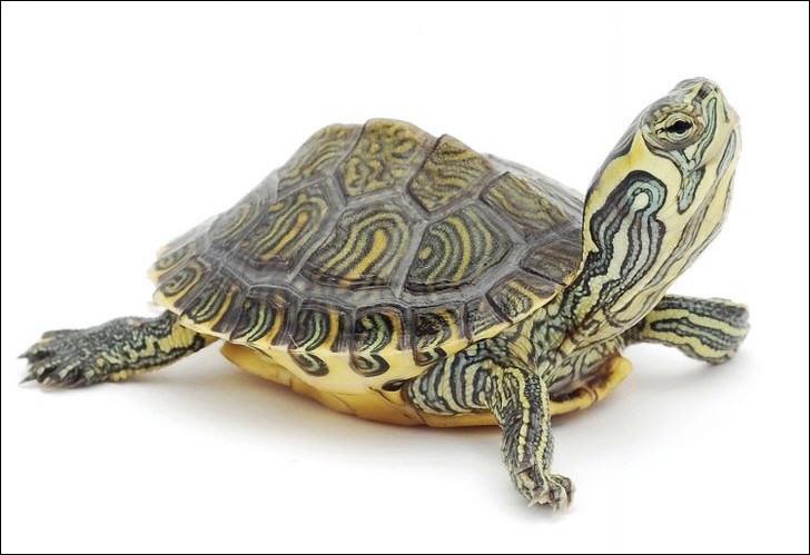 Voyez-vous une tortue marine ou terrestre ?