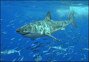 Le grand requin blanc est :
