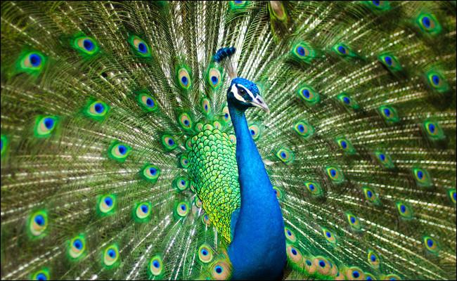 Oiseau : de quelle couleur est la femelle du paon ?