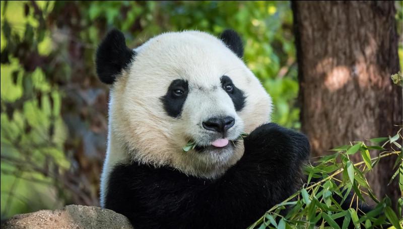 Mammifère : à quelle famille de mammifères appartient le panda géant ?