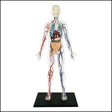 Dans le corps humain, où se situe le muscle deltoïde ?