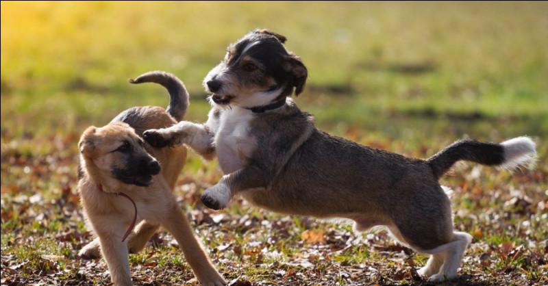 Qu'est-ce que les chiens aiment souvent faire avec un humain ?