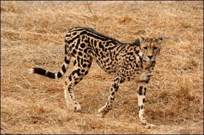 Ceci est un guépard royal.