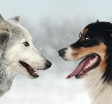 Le loup et le chien sont des canidés.