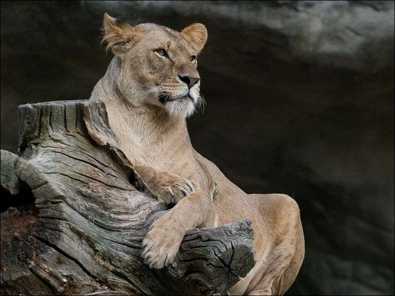L'espérance de vie d'une lionne à l'état sauvage est de 20 à 50 ans.