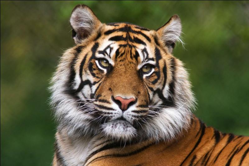 La taille d'un tigre adulte, au garrot est de 70 à 120 cm.