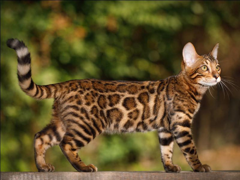 Le bengal est une race de chat qui déteste l'eau !