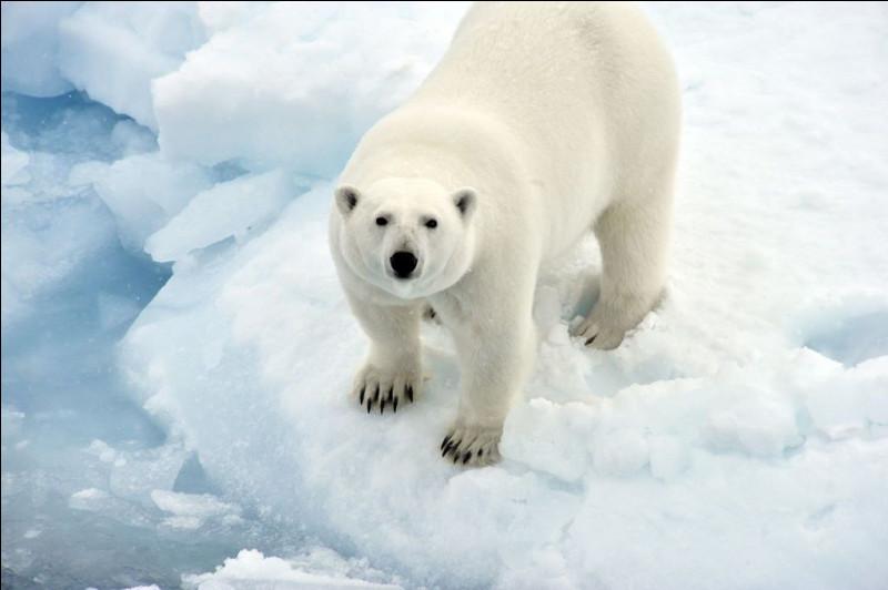 La vitesse d'un ours blanc est de 100 km/h.