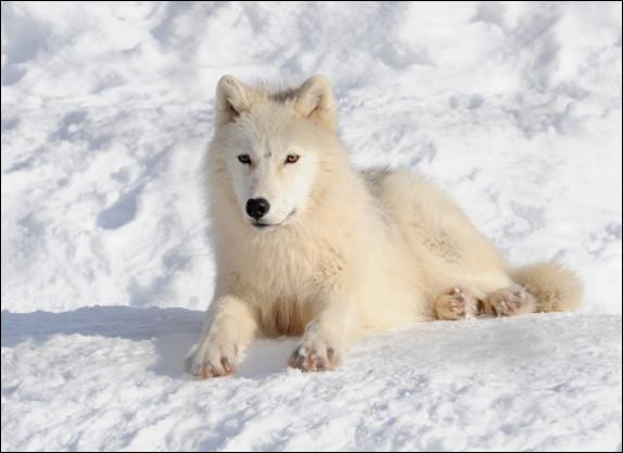 Sur la photo, c'est un renard polaire.