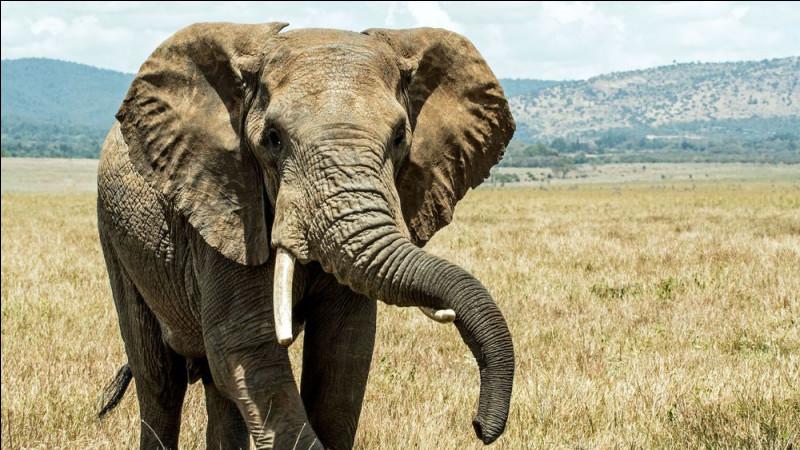L'éléphant est le seul mammifère, avec l'homme, à posséder un menton. Il est aussi le seul à avoir 4 genoux.