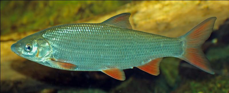 Quel est ce poisson grégaire qui vit dans les courants de la Meuse, de la Seine, du Rhin et du Danube ?
