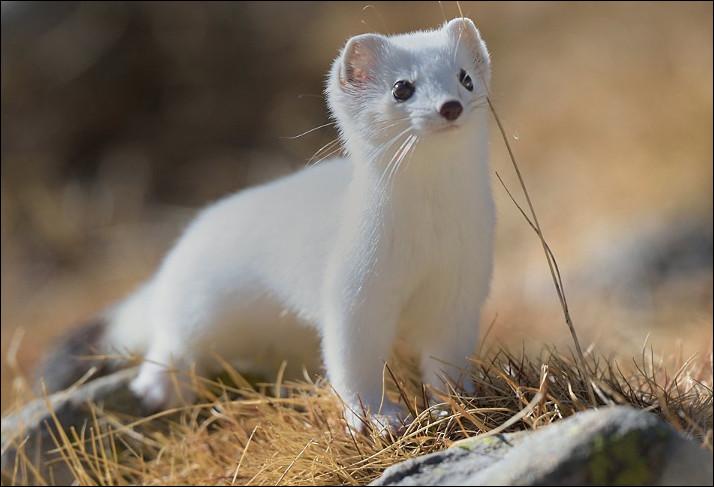 Quel est ce carnivore au corps longiligne apprécié pour sa fourrure hivernale blanc maculé ?