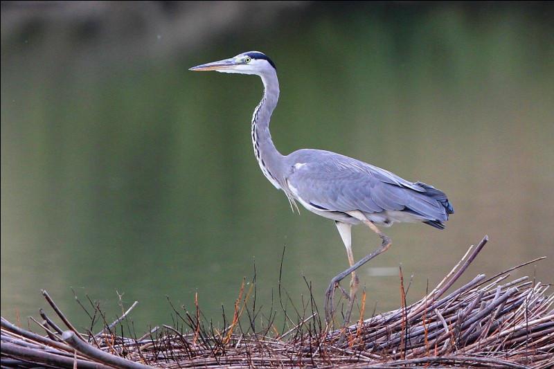 Quel est cet oiseau échassier avec un long cou grêle et un grand bec orangé conique ?