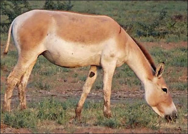Quel est cet âne, un animal herbivore d'Asie en voie de disparition ?