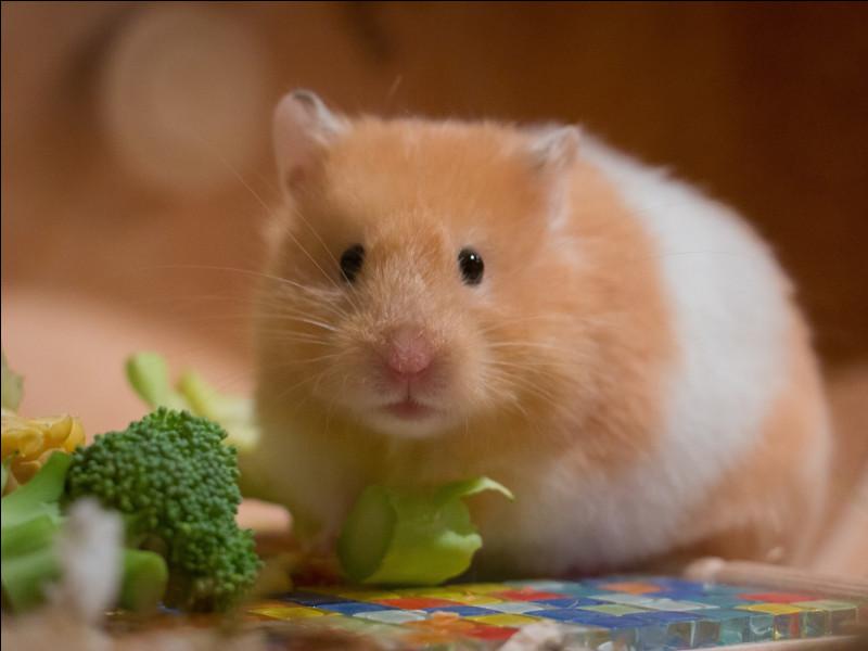 Quel est ce petit rongeur, animal de compagnie, doux et attachant, adoré des enfants ?