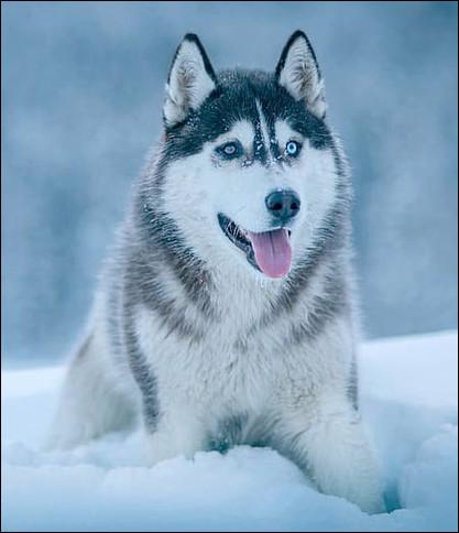 Quel est ce chien de meute grégaire, originaire de Sibérie, robuste, affectueux, intelligent et docile, élevé comme animal d'attelage