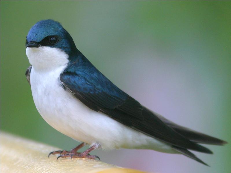 Quel est cet oiseau migrateur noir et blanc, symbole de l'arrivée du printemps ?