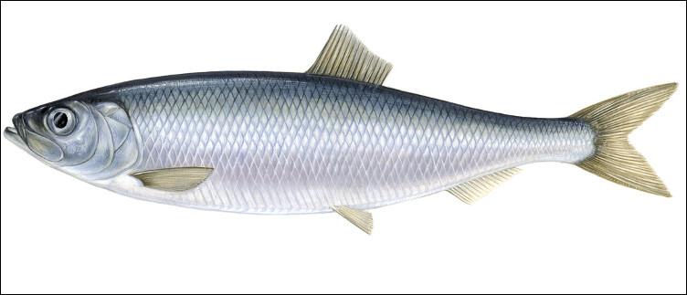 Quel est ce poisson de l'Atlantique du nord qui se déplace en bancs énormes, apprécié en gastronomie, frais, fumé, salé ou mariné ?