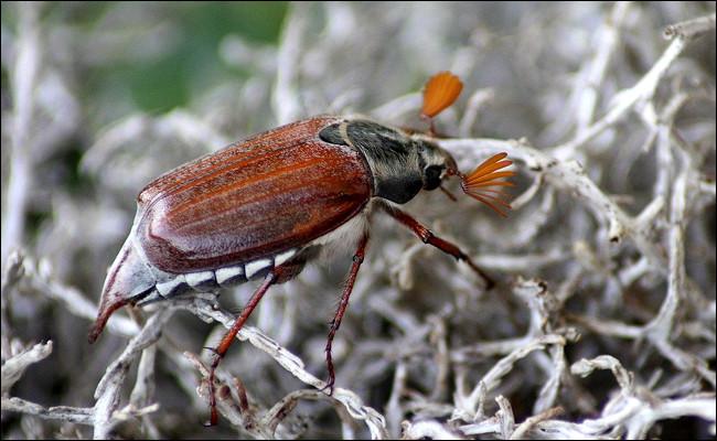 Quel est ce coléoptère avec des antennes courtes et frangées, gourmand de racines et de feuilles ?
